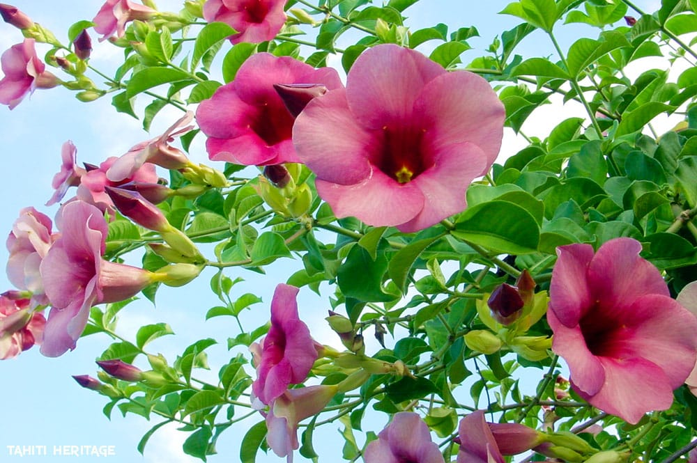Monettes mauves de Tahiti, Allamanda blanchetii
