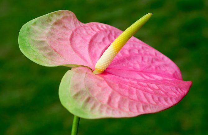 Anthurium vert et rose © Tahiti Heritage
