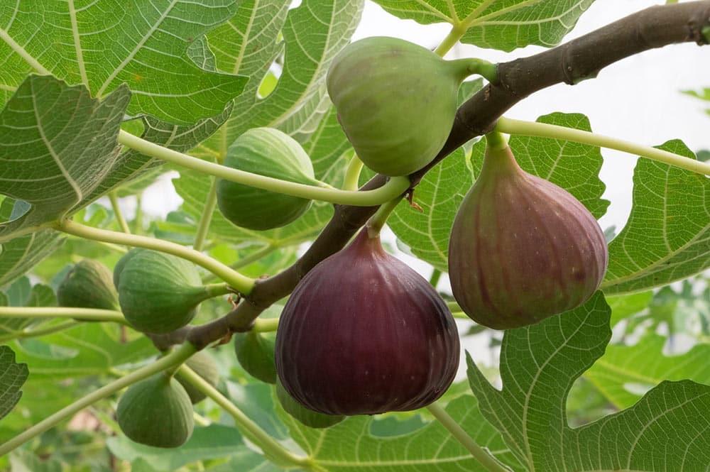 Figues - Figuier - Ficus Carica