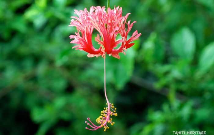 Hibiscus corail, Hibiscus schizopetalus