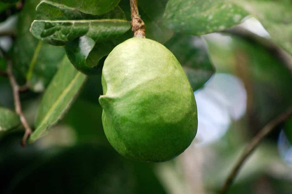 Mape, fruit du Châtaignier tahitien