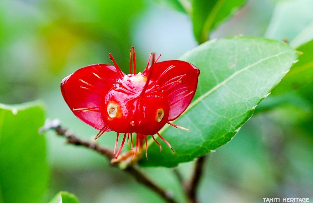Mickey mouse plant - Ochne © Tahiti Heritage