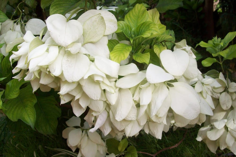 Mussaenda blanc