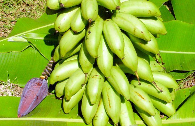 Bananes de Tahiti, Mei'a © Tahiti Heritage