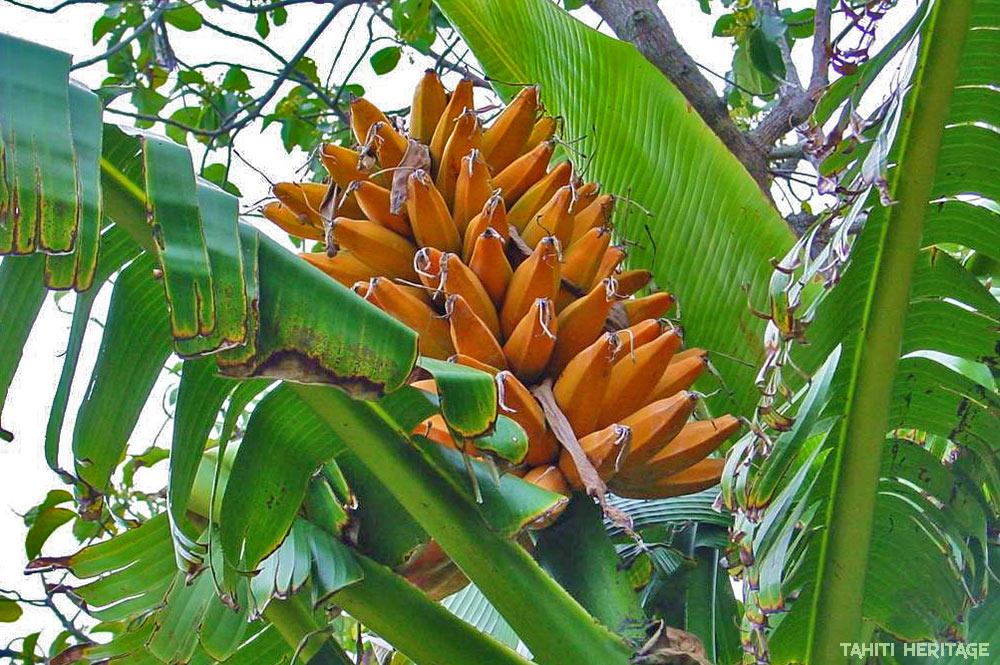 fei de Tahiti, banane plantain de montagne