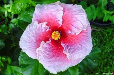 Hibiscus rosa sinensis, mauve et rose de Tahiti. © Tahiti Heritage
