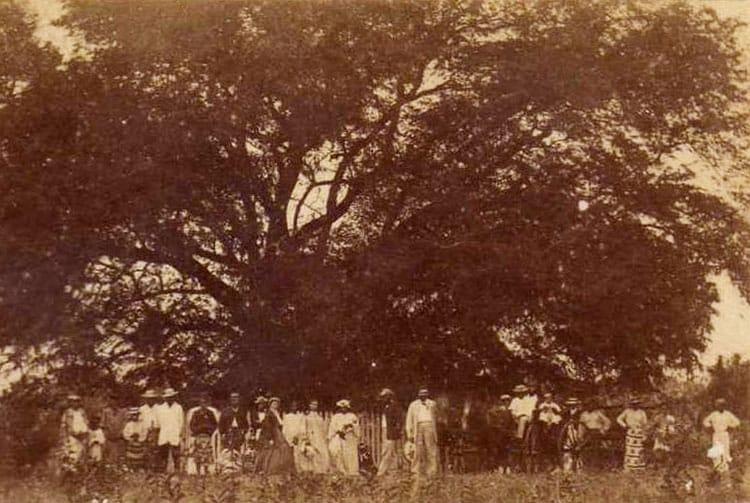 Le tamarinier planté par Cook à Mahina. Photo Hoane 1880