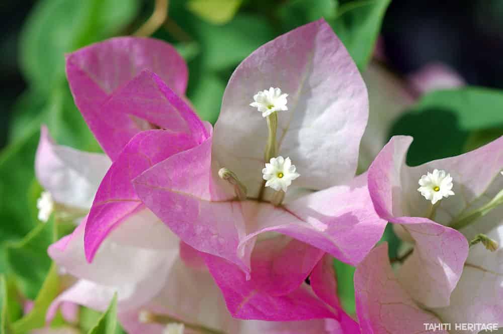 Bougainvillier rose de Tahiti