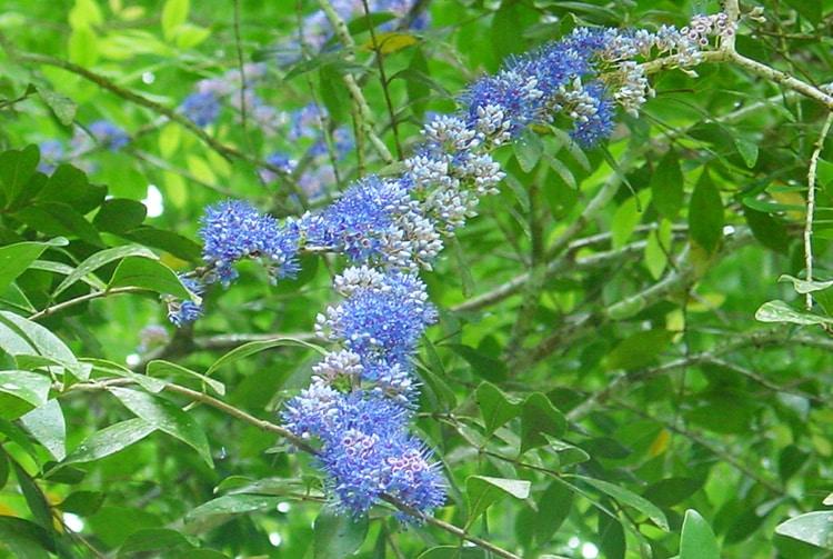 Fleurs bleues de Delek Air, Memecylon