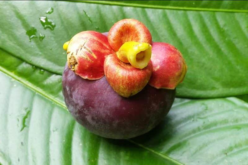 Mangoustan de Tahiti, Garcinia mangostana. Photo Chantal Alexandre Tahiti iti