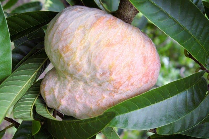 Coeur de boeuf - Annona reticula