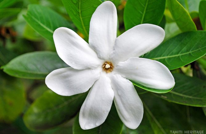 Tiare Tahiti, la fleur symbole de Tahiti. © Tahiti Heritage