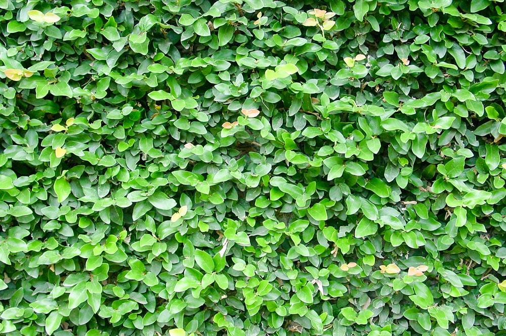 Ficus pimula, le lierre de Tahiti