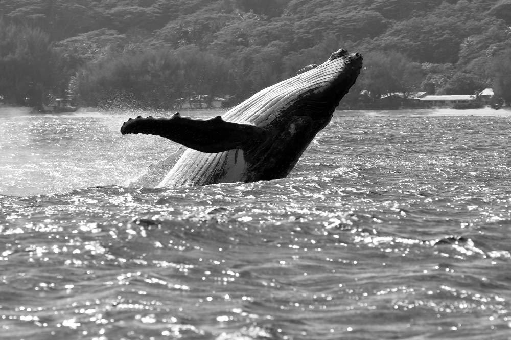 rurutu baleines