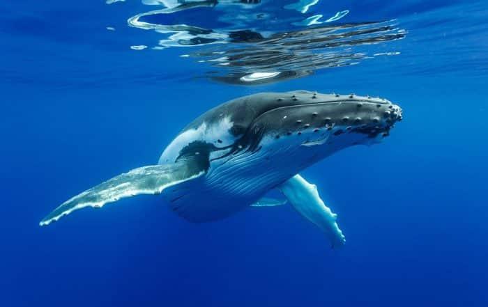 Baleine à bosse - tohorā -. Plongée Photo Polynésie/Sylvain Girardot