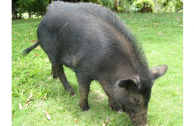 cochon sauvage de Tahiti