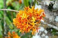 Arbre Ashoka, arbre sacré de l'Inde. Saraca indica © Tahiti Heritage