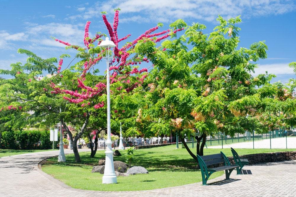 Cassia rose du Parc de Paofai à Papeete
