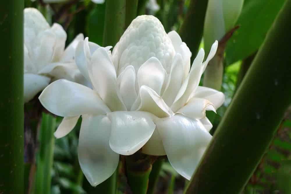 Rose de porcelaine blanche. Etlingera eliator.