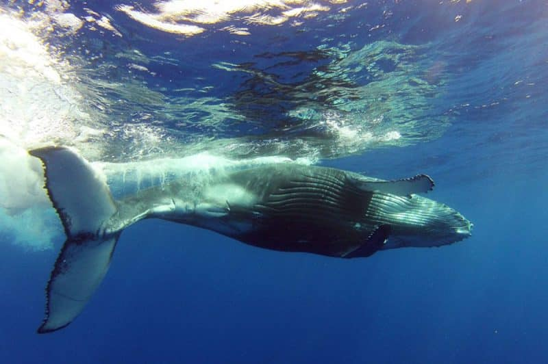 Baleine. Photo Mata Tohora