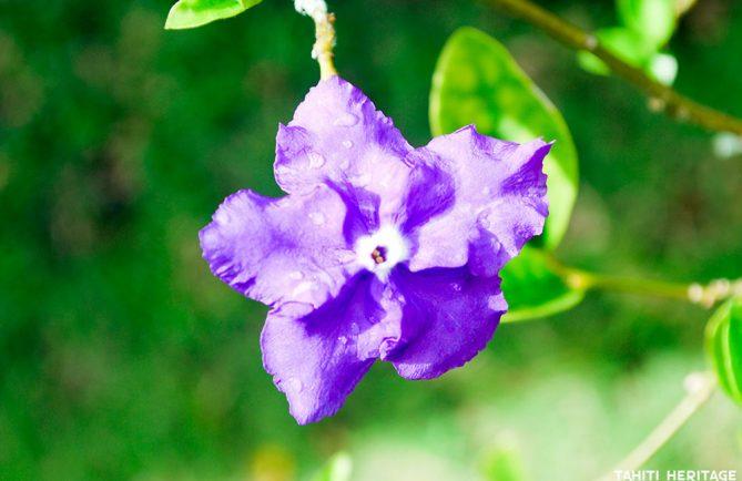 Hier, aujourd'hui et demain - Brunfelsia grandiflora. © Tahiti Heritage