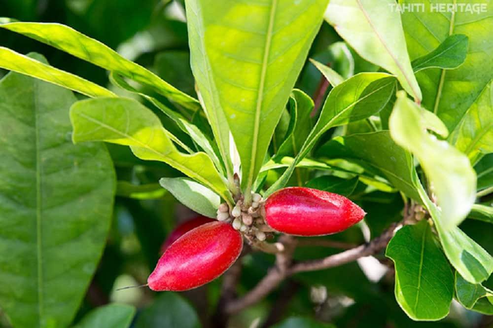 Fruit miraculeux - Miracle fruit - Synsepalum dulcificum © Tahiti Heritage