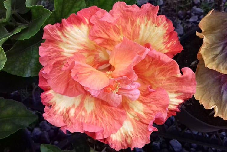 Hibiscus rosa sinensis de Tahiti.