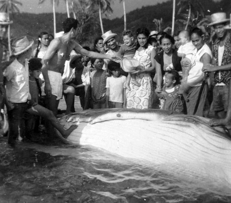 Partage de la baleine à Rurutu en 1950