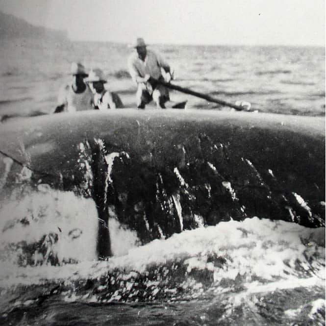 Pêche à la baleine à Rurutu en 1950