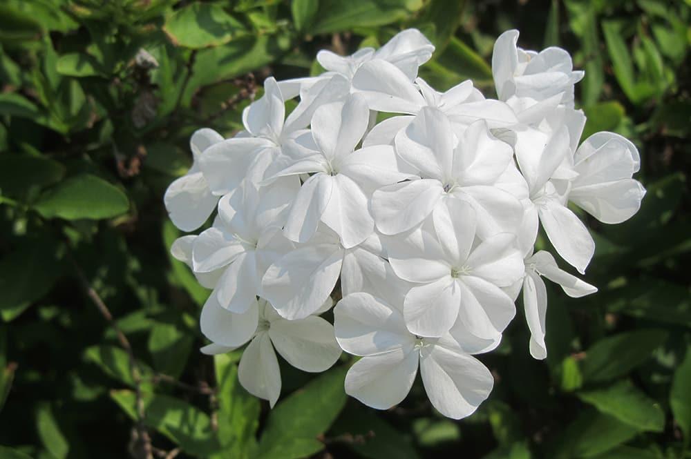 Plumbago auriculata white