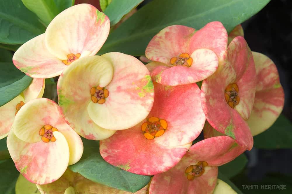 Euphorbia Milli, Epines du Christ. © Tahiti Heritage