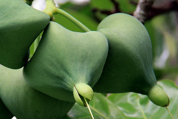 Hotu fruit