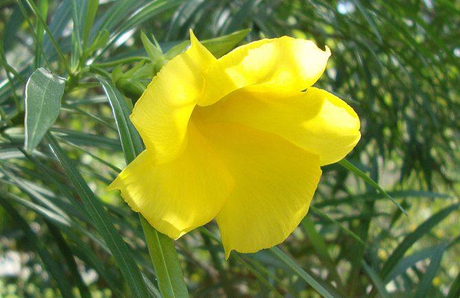 Thevetia peruviana. Laurier-jaune © Tahiti Heritage