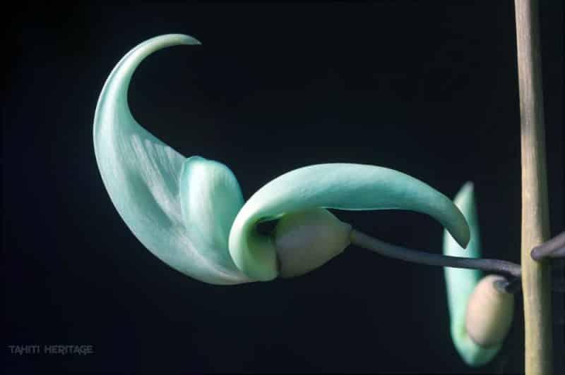Fleur de Liane de jade © Tahiti Heritage