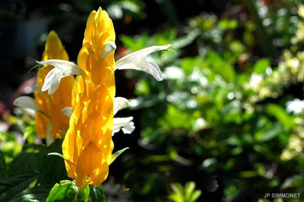 Pachystachys lutea, Chevrette jaune. Photo JP Simmonet