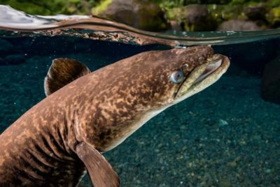 Anguille royale. Photo Sylvain Girardot