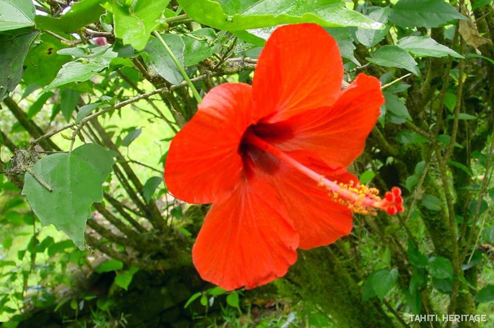 Hibiscus tahitien