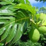 Uru, l'arbre à pain de Tahiti