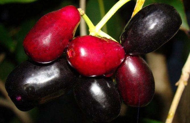 Jamelon, Jamblon, Pistas, Syzygium cumini