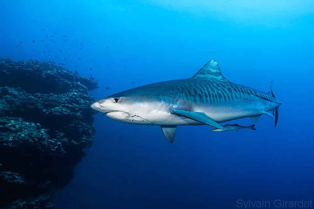Requin tigre. Photo Sylvain Girardot