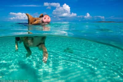 Cochon dans mer (Bahamas) Photo Kein Hubert Media drum worlf
