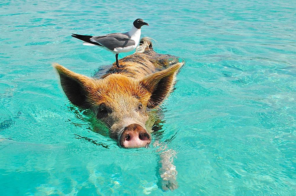 Cochon dans mer (Bahamas) Photo Lisa Larsen