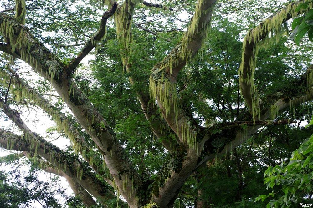 Branches du Falcata du chemin de l'Aorai. Photo Rémy Canavesio