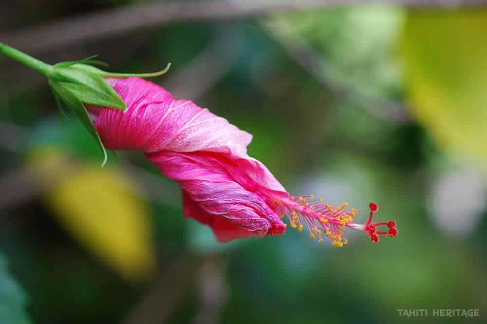 Hibiscus rosa sinensis fané © Tahiti Heritage