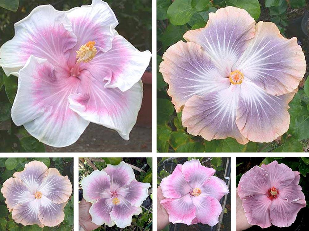 Mariage de fleurs d'hibiscus rosa sensis. Photos Dick Johnson