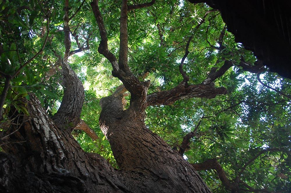 Branches du Manguier Tutehau de Farepiti, Papeete