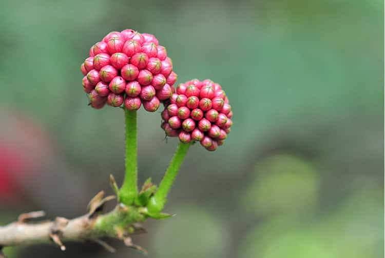 Fruits de Calliandra haematocephala. Photo Laurent Francini