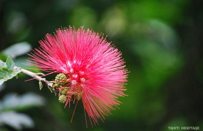 Arbre aux houppettes. Calliandra haematocephala. © Tahiti Heritage