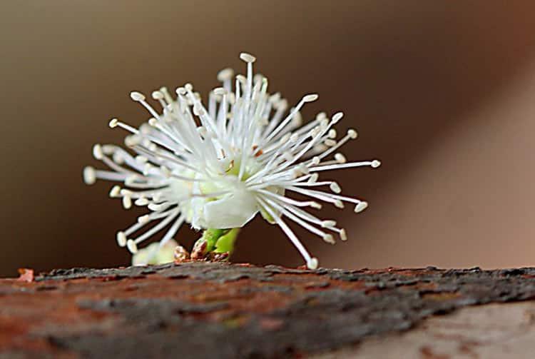 Fleur de Jaboticaba