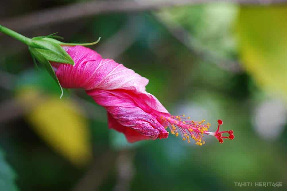 Légende des Femmes-fleurs. Hibiiscus fané